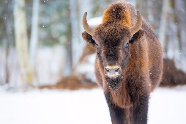 Grote bruine bizon dichtbij de winterbos met sneeuw