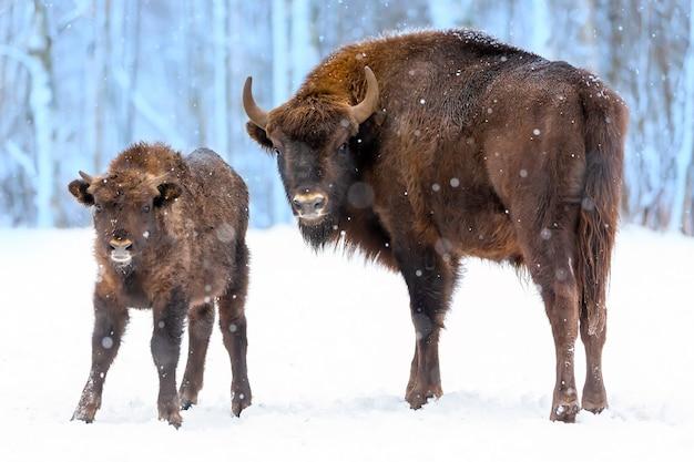 Grote bruine bizons wisent familie in de buurt van winter woud met sneeuw.