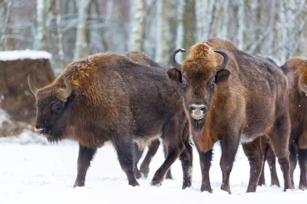 Grote bruine bizons wisent-groep dichtbij de winterbos met sneeuw.