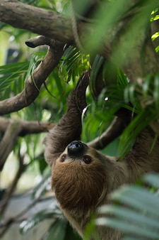 Grote bruine three-toed luiaard die op een tak beklimt