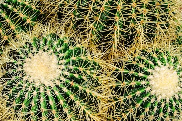 Grote cactus met doornen in de tuin in thailand
