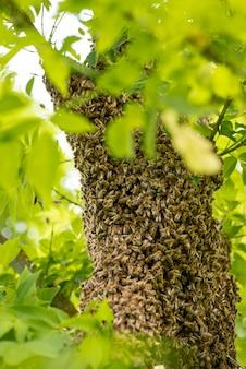 Grote cluster van honinginsecten, verzameld op de tak van de plant. zwerm bijen op groene boom, warm seizoen, verticaal beeld.