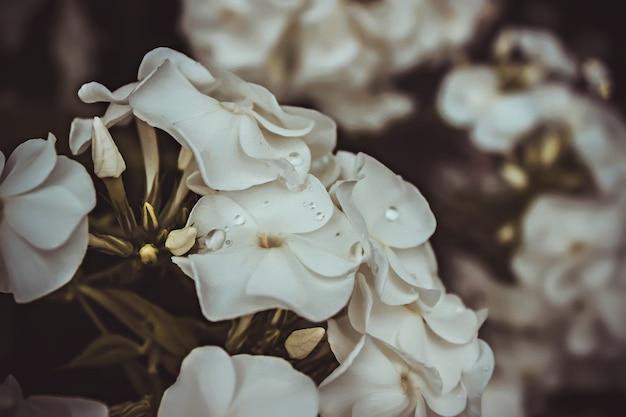 Grote clusters van witte garden phlox bloeiende plant op bruine achtergrond met bladeren. witte phloxbloemen in de tuin. dit zijn bloemen van phlox. het is het thema van de seizoenen. een close-up.