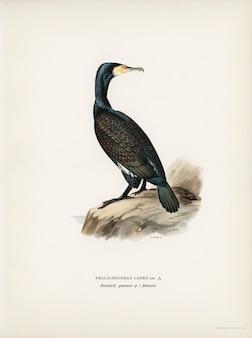 Grote cormoran (phalacrocorax carbo) geïllustreerd door de gebroeders von wright.