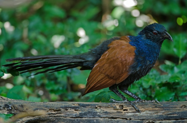 Grote coucal (centropus sinensis)