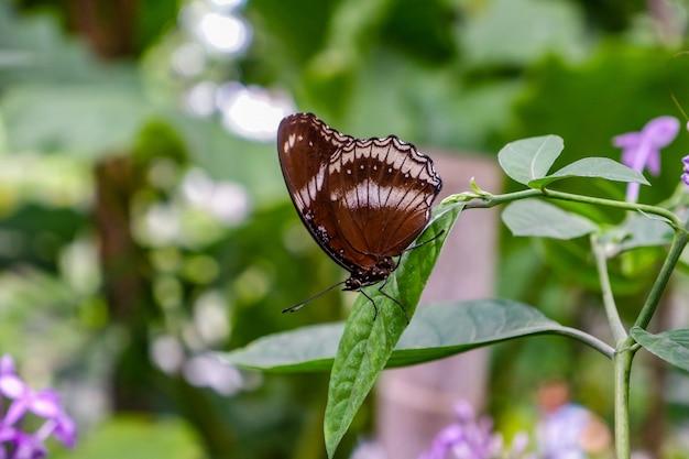 Grote eggfly zwarte vlinder