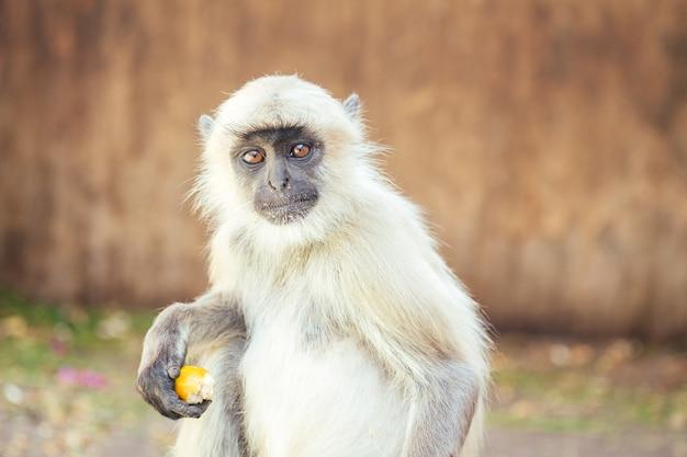 Grote en aardige grijze aap in jaipur.