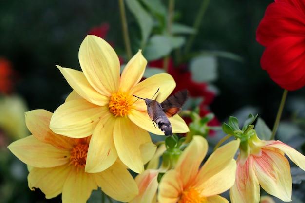 Grote en grootste bijen op het gele bloemhoofd, macro en close-up van insecten