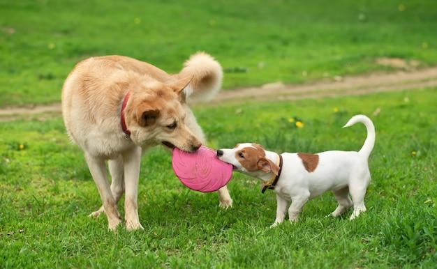 Grote en kleine hond draagt roze frisbee