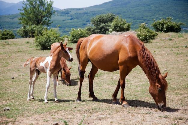 Grote en kleine paarden grazen in veld in de bergen op de krim
