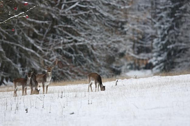 Grote en mooie damherten in de natuurhabitat in tsjechië