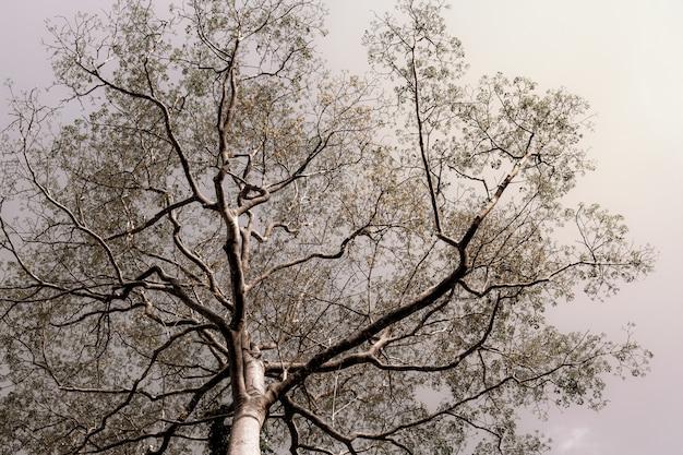Grote enge boom met zwarte takaders tegen de hemel. natuurlijke achtergrond