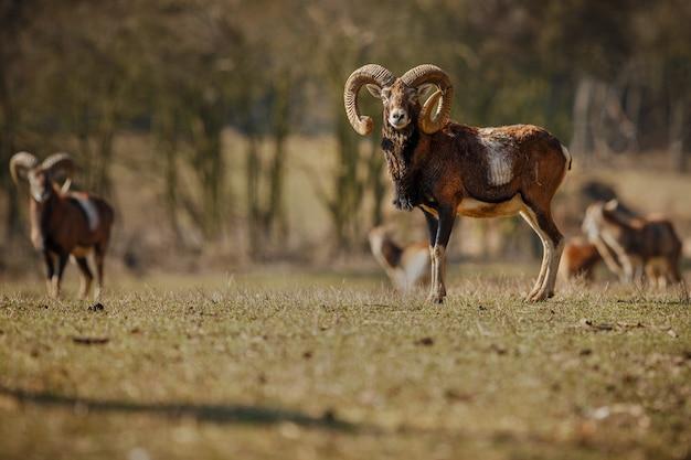 Grote europese moeflon in het bos wild dier in de natuurhabitat in tsjechië