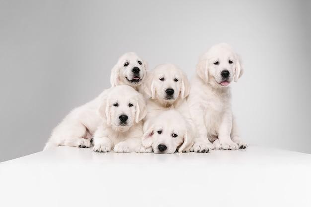 Grote familie. engelse cream golden retrievers poseren