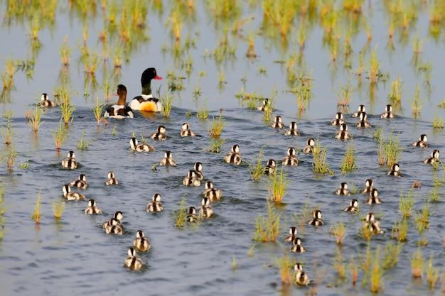 Grote familie van bergeend. mannetje, vrouwtje en meer dan 40 kuikens drijft.