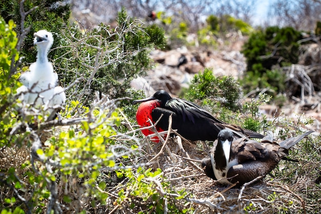 Grote fregatvogel (fregata minor) endemisch op de galapagos-eilanden. zeevogel in fregatvogelfamilie in tropische dierenwereld. observatie van natuurgebied. vakantie-avontuur in ecuador