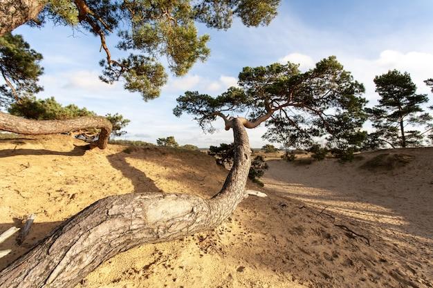 Grote gebogen boom in een zanderige ondergrond overdag