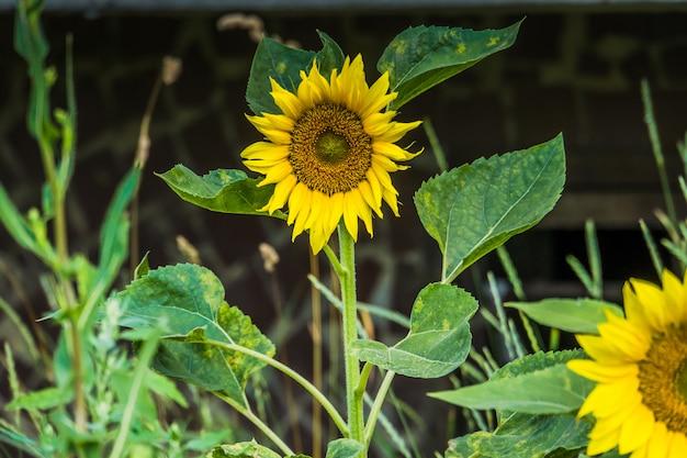 Grote gele zonnebloem