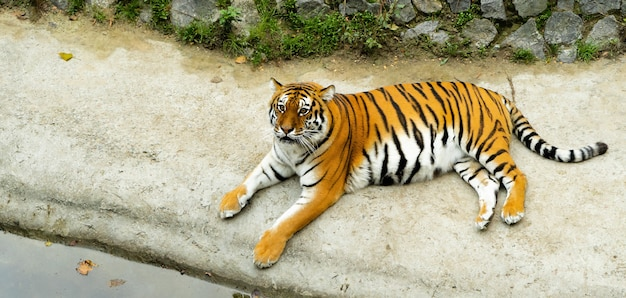 Grote gestreepte tijger rust liggend op de grond in de buurt van water. volwassen zoogdierroofdier dat in dierentuin leeft