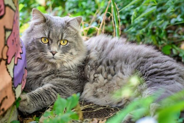 Grote grijze kat die in de tuin ligt