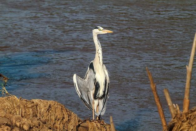 Grote grijze reiger dichtbij oever van rivier. tanzania, afrika