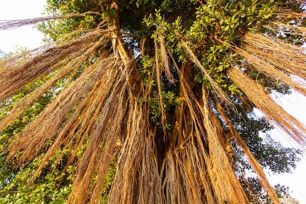 Grote groene banyanboom met wortels.