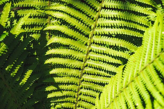 Grote groene bladeren van varensclose-up