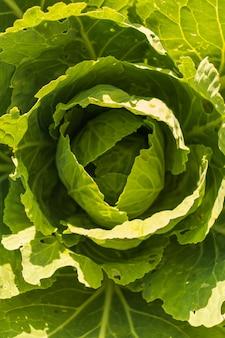Grote groene bladkoolkop groeit in de kas Premium Foto