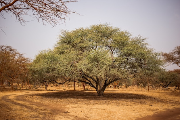 Grote groene boom die grote schaduw maakt op zanderige weg. wild leven in safari. baobab en bush jungles in senegal, afrika. bandia reserve. heet, droog klimaat.