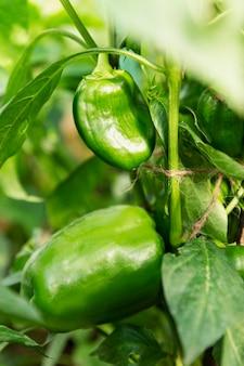 Grote groene paprika's op een tak. nieuwe oogst. gezonde voeding en vitamines. detailopname. verticaal.