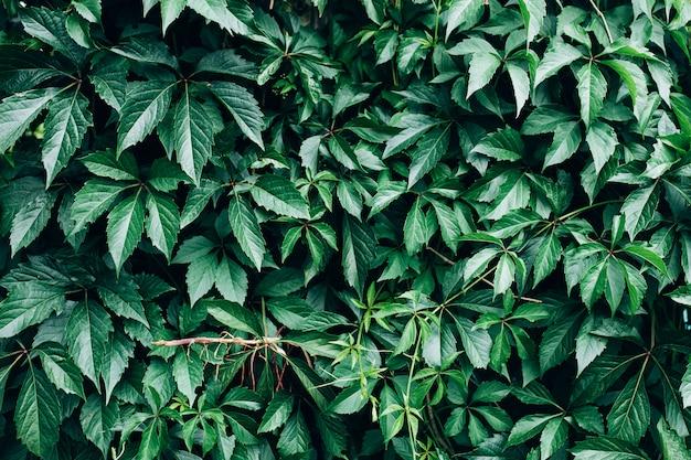 Grote groene struik met grote bladeren, mooie groene struikachtergrond.