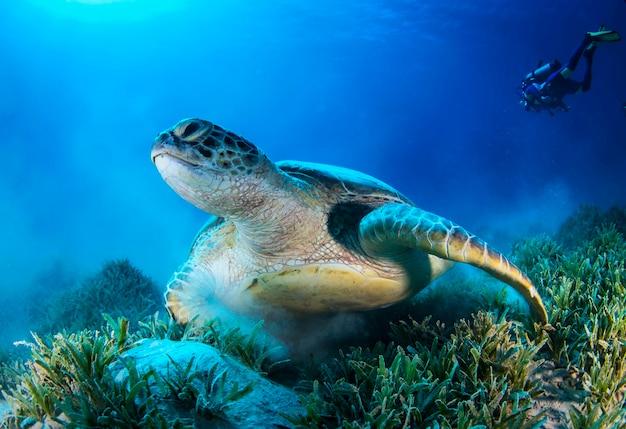 Grote groene zeeschildpad die onder kleurrijk koraalrif in donker helder water zwemt. zeeleven onder water in de blauwe oceaan. observatie dierenwereld. duikavontuur in de rode zee, kust afrika