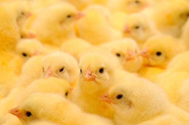 Grote groep pas uitgekomen kuikens op een kippenboerderij