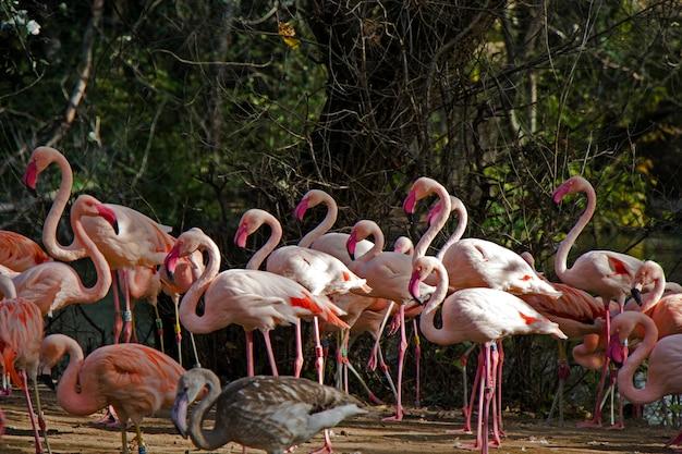 Grote groep roze of rode flamingo's in de dierentuin van berlijn