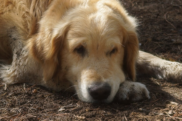 Grote hondenras golden retriever rusten liggend op de grond.