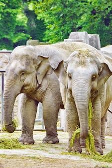 Grote indische olifanten zijn natuurlijke habitat.
