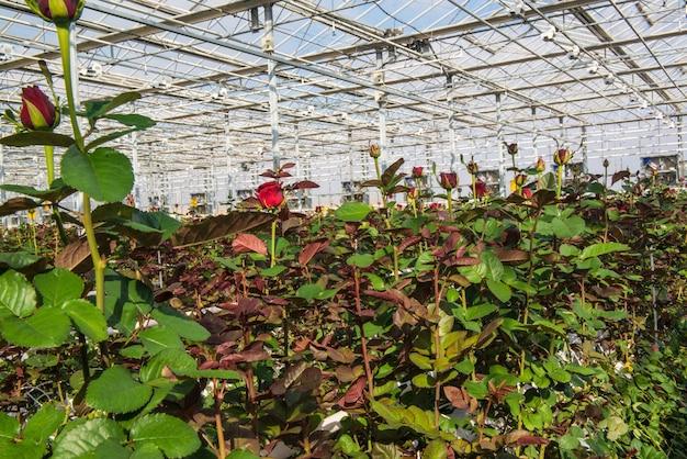 Grote industriële kas met hollandse rozen