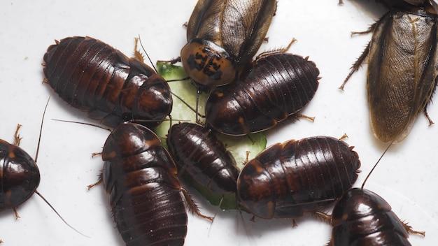 Grote kakkerlakken eten een komkommer geïsoleerd op een witte achtergrond, bovenaanzicht. vieze en schadelijke insecten. 4k uhd