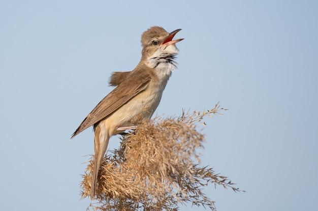 Grote karekiet. vogel in de habitat. acrocephalus arundinaceus.