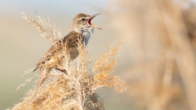 Grote karekiet. zingende vogel in de habitat. acrocephalus arundinaceus.
