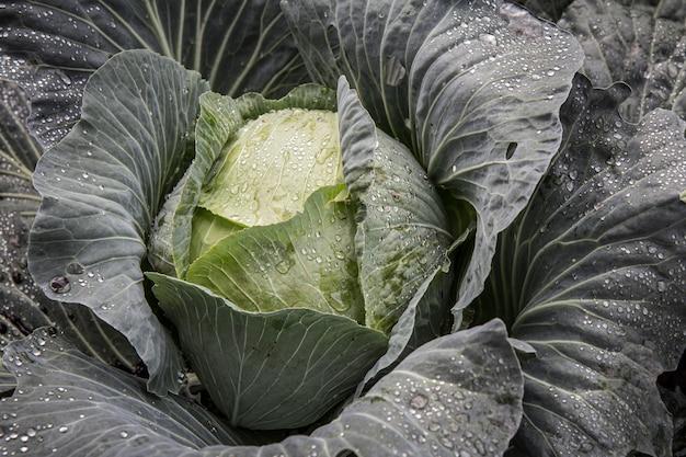 Grote kopkool met waterdruppels op bladeren in de tuin. natuurlijk en veilig voedsel. bovenaanzicht.