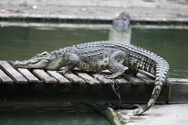 Grote krokodil in de boerderij