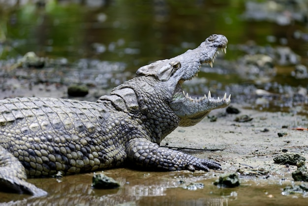 Grote krokodil in nationaal park van kenia, afrika