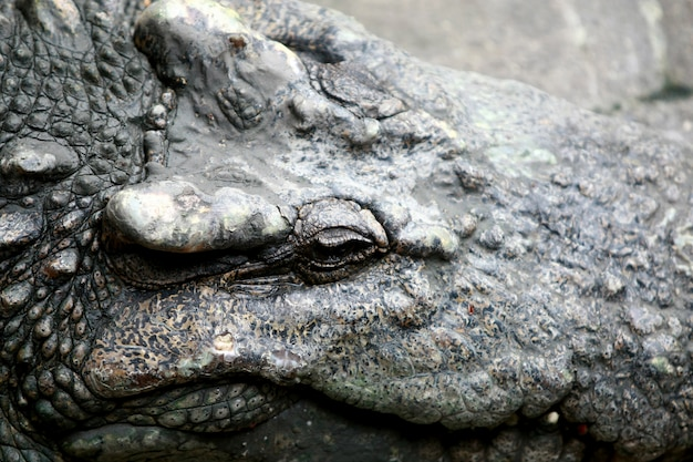 Grote krokodil op het landbouwbedrijf, thailand