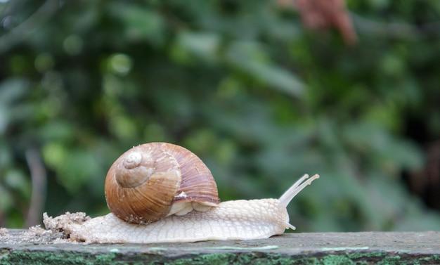 Grote kruipende tuinslak met een gestreepte schelp. een groot wit weekdier met een bruin gestreepte schelp. zomerdag in de tuin. bourgondië, romeinse slak met onscherpe achtergrond. helix promatia.