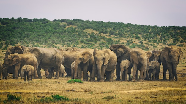 Grote kudde afrikaanse olifanten in addo national park, zuid-afrika