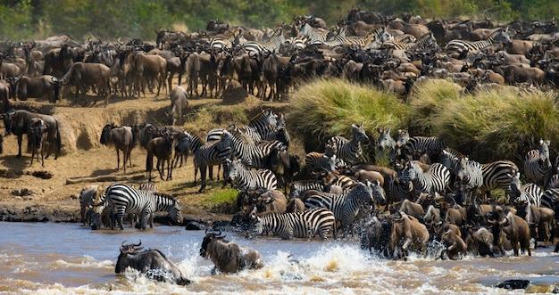 Grote kudde gnoes gaat over de mara-rivier