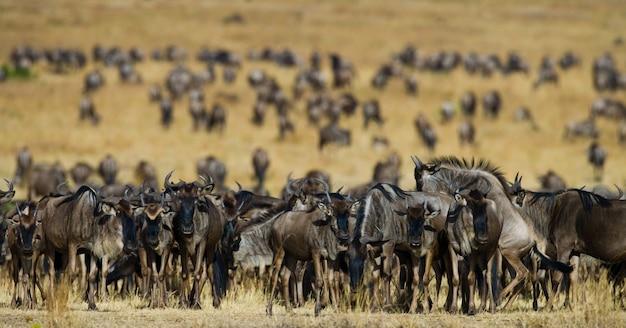 Grote kudde gnoes in de savanne