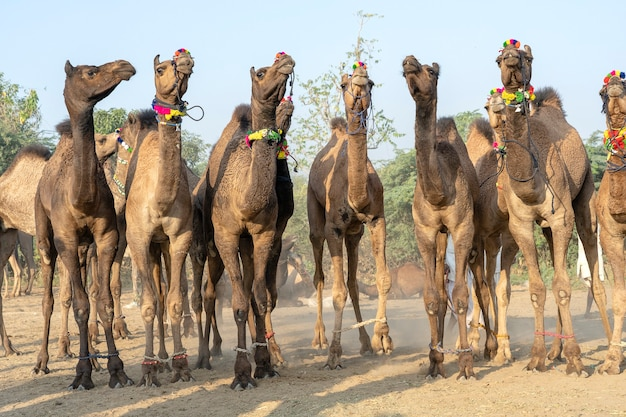 Grote kudde kamelen in woestijn thar tijdens de jaarlijkse pushkar camel fair in de buurt van heilige stad pushkar, rajasthan, india. deze beurs is de grootste kamelenbeurs ter wereld