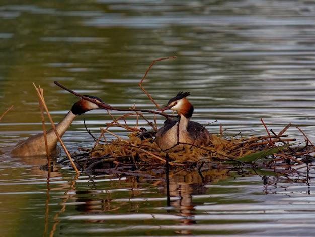 Grote kuif futen (podiceps cristatus) zwemmen in het meer